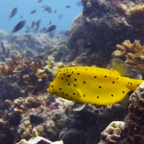 boxfish 2