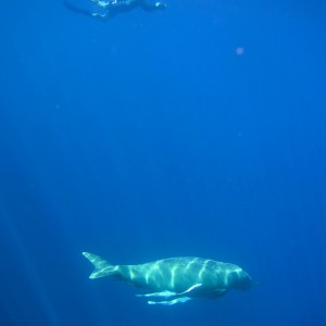 dugong photos